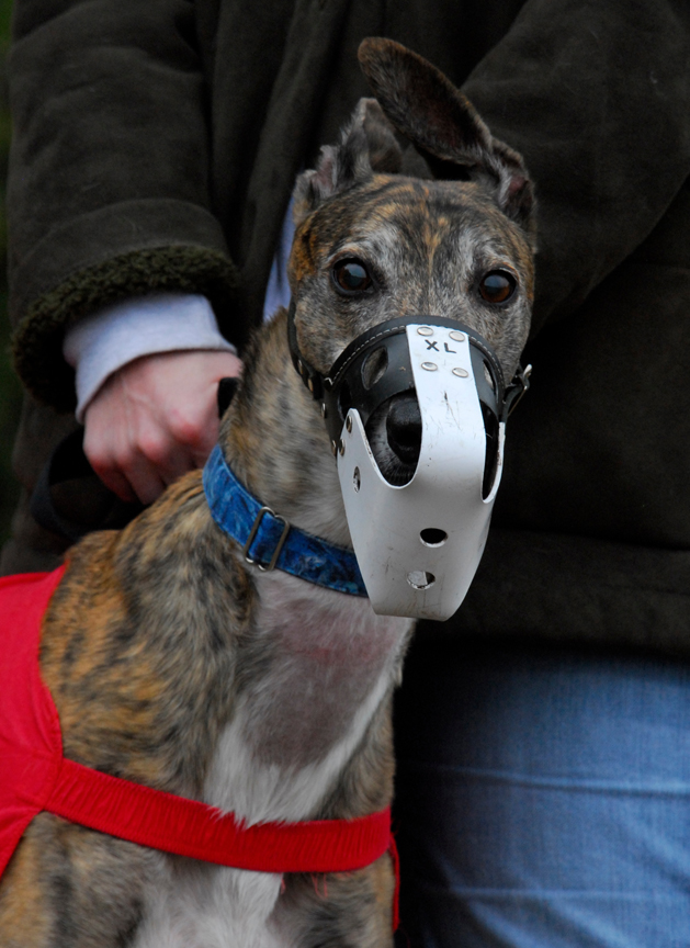 Greyhound Crossroads Racing Muzzle