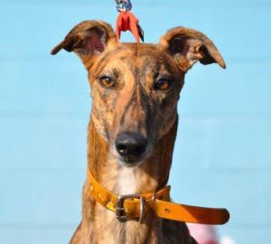 Greyhound Crossroads - 2014 Adoptions