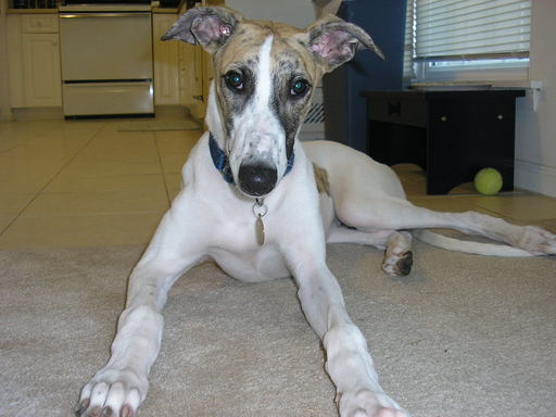 Greyhound Puppy (Otis)